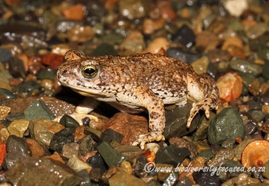 Southern Pygmy Toad (Poyntonophrynus vertebralis)