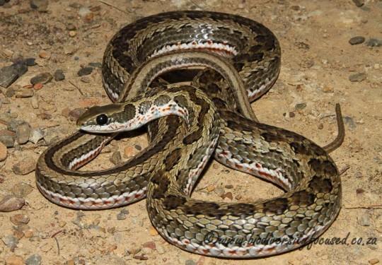 Spotted Grass Snake (Psammophylax rhombeatus rhombeatus)