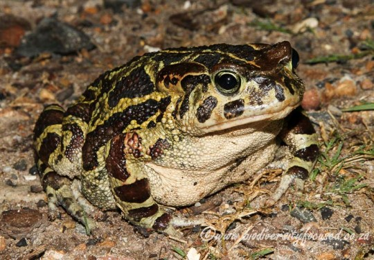 Western Leopard Toad (Sclerophrys pantherina)