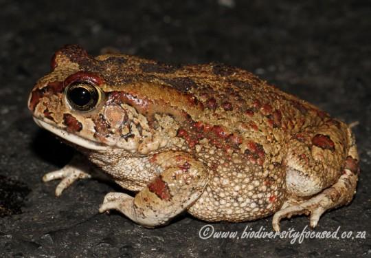 Western Olive Toad (Sclerophrys poweri)