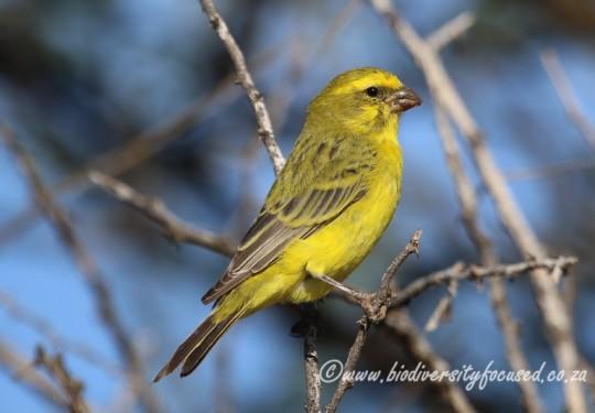Yellow Canary (Serinus flaviventris)