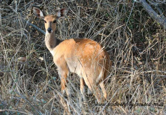 Bushbuck (Tragelaphus scriptus)
