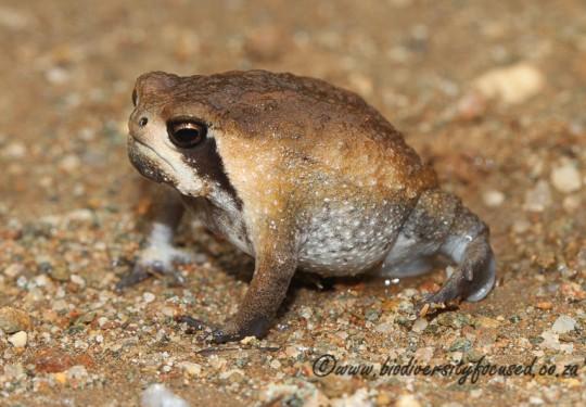 Bushveld Rain Frog (Breviceps adspersus)