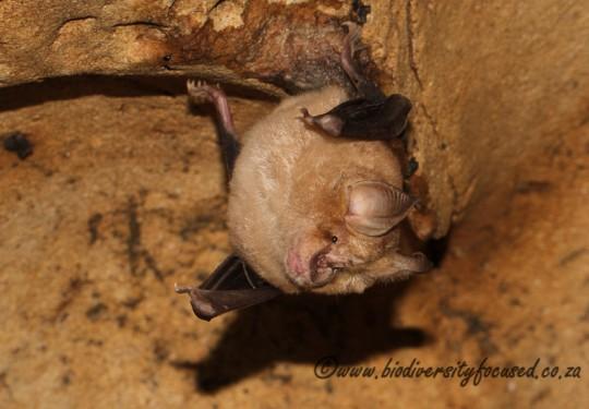 Cape Hoseshoe Bat (Rhinolophus capensis)