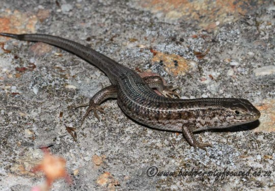 Cape Skink (Tracyhlepis capensis)