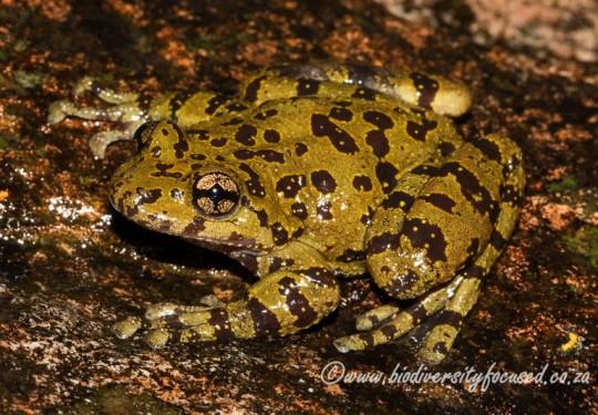Cederberg Ghost Frog (Heleophryne depressa)