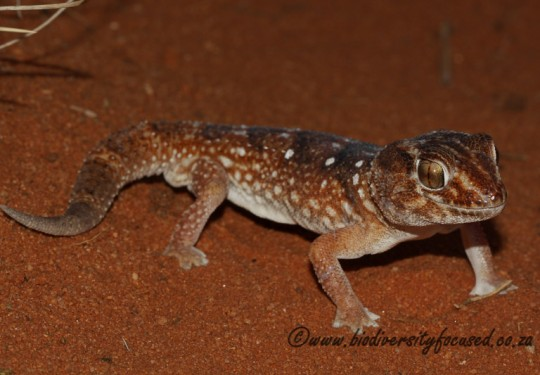 Common Giant Gecko (Chondrodactylus angulifer angulifer) - male