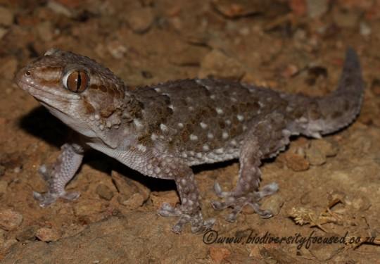 Bibrons Gecko (Chondrodactylus bibronii)