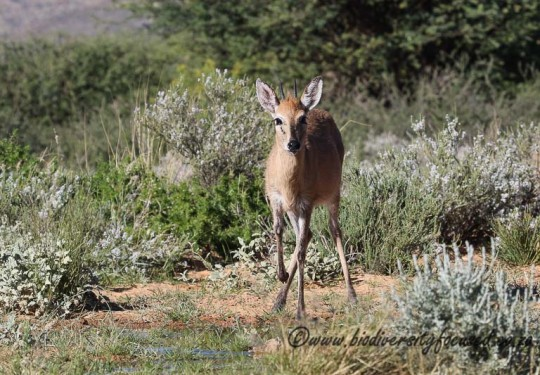 Common Duiker (Sylvicapra grimmia)