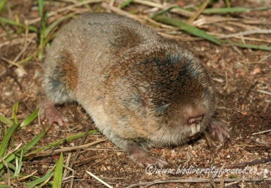 Common Mole-rat (Cryptomys hottentotus)