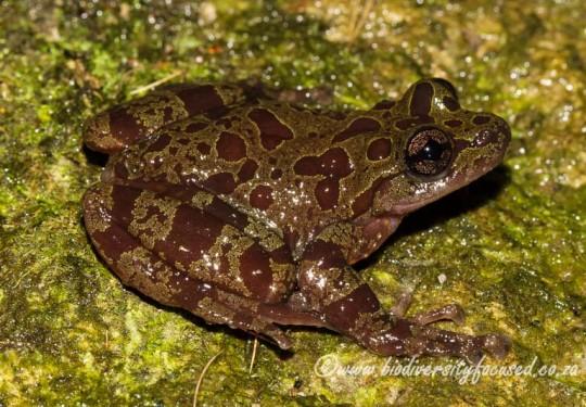 Eastern Ghost Frog (Heleophryne orientalis)