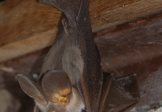Egyptian Slit-faced Bat (Nycteris thebaica)