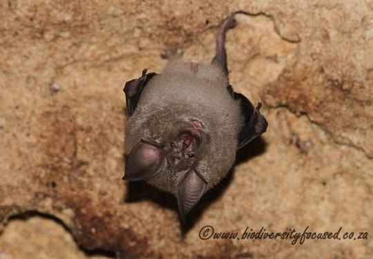 Geoffroys Hoseshoe Bat (Rhinolophus clivosus)