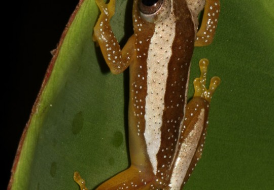 Greater Leaf-folding Frog (Afrixalus fornasinii)