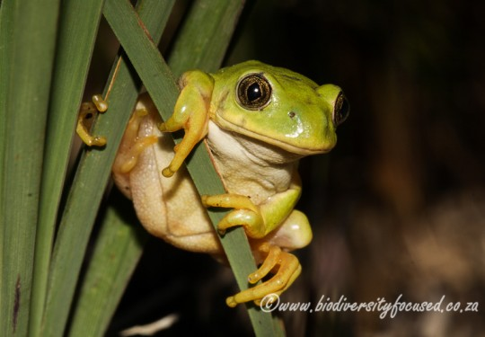 Long-toed Tree Frog (Leptopelis xenodactylus)