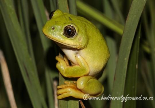 Long-toed Tree Frog (Leptopelis xenodactylus)
