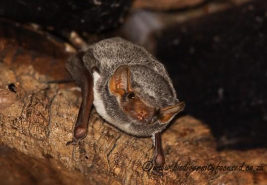 Mauritian Tomb Bat (Taphozous mauritianus)