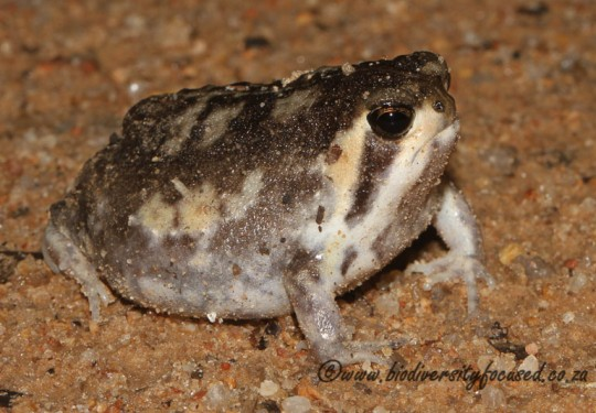 Mozambique Rain Frog (Breviceps mossambicus)