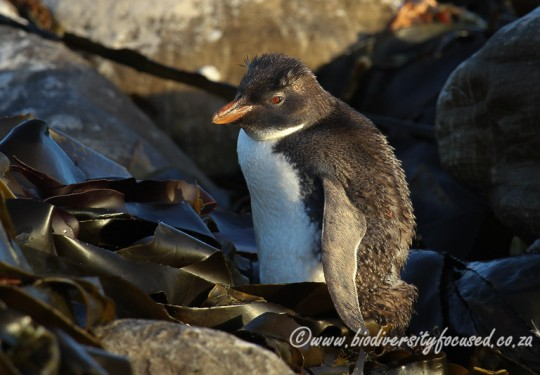 Northern Rockhopper Penguin (Eudyptes moseleyi)