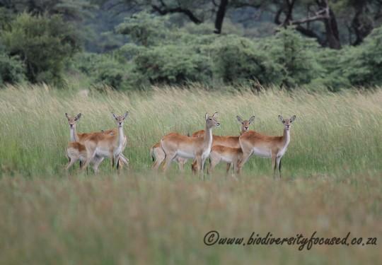 Red Lechwe (Kobus leche leche)