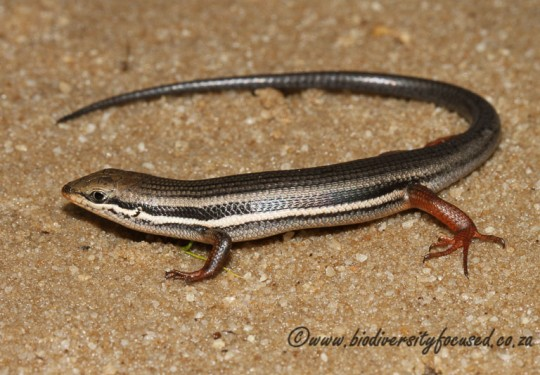 Red-sided Skink (Tracyhlepis homalocephala)