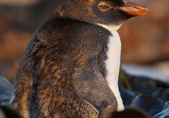 Northern Rockhopper Penguin (Eudyptes moseleyi)