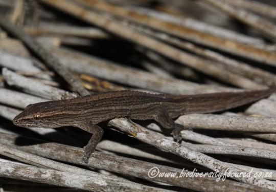 Salt Marsh Gecko (Cryptactites peringueyi)