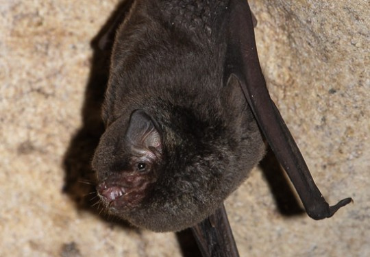 Natal Long-fingered Bat (Miniopterus natalensis)