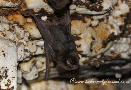 Natal Long-fingered Bat (Miniopterus natalensis)