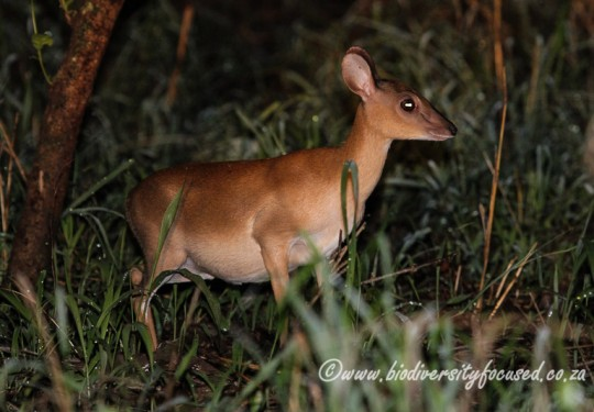 Suni (Nesotragus moschatus)