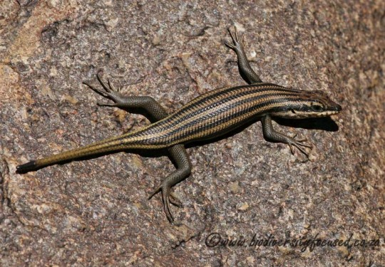 Western Rock Skink (Tracyhlepis sulcata) female