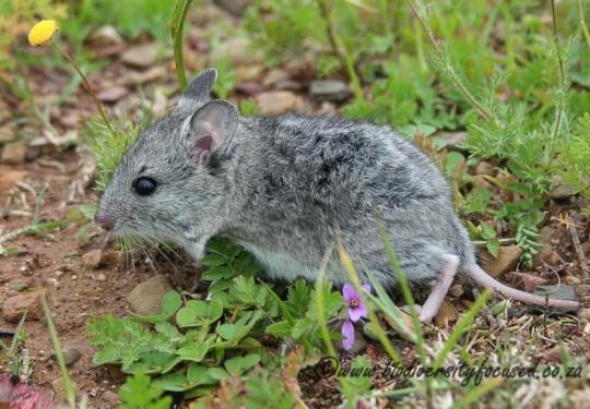 White-tailed Mouse (Mystromys albicaudatus)