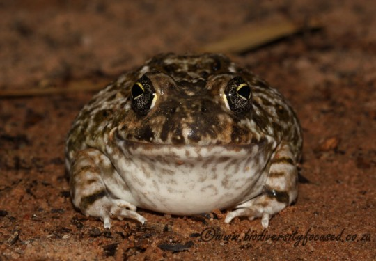 Cape Sand Frog (Tomopterna delalandii)