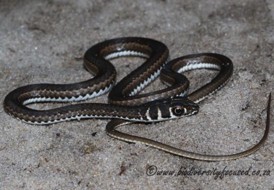 Cape Sand Snake (Psammophis leightoni)