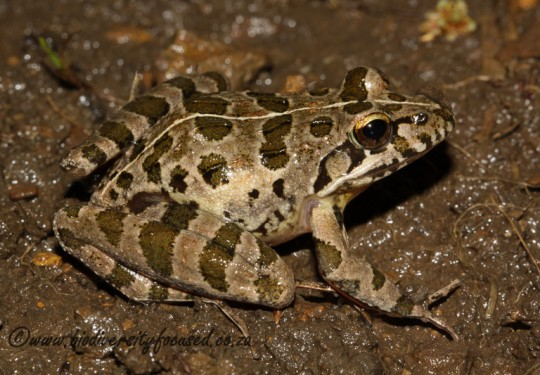 Clicking Stream Frog (Strongylopus grayii)