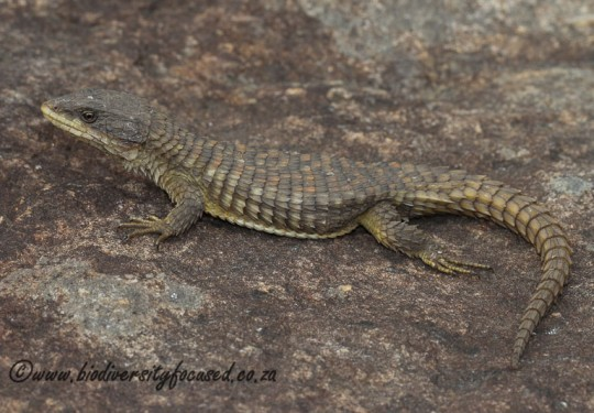 Common Girdled Lizard (Cordylus vittifer)