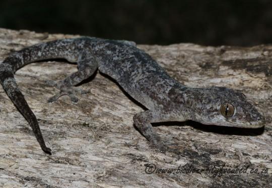 Common Tropical House Gecko (Hemidactylus mabouia)