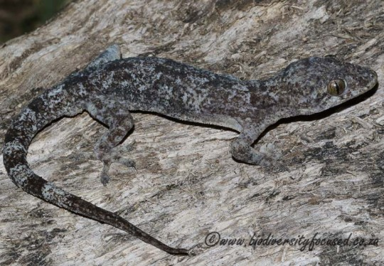 Common Tropical House Gecko (Hemidactylus mabouia)