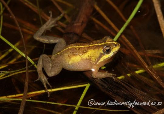 Micro Frog (Microbatrachella capensis)