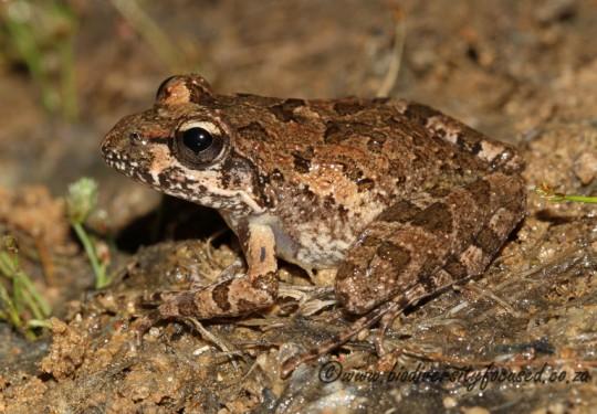Namaqua Stream Frog (Strongolopus springbokensis)