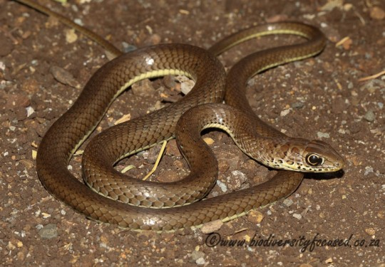 Olive Grass Snake (Psammophis mossambicus)