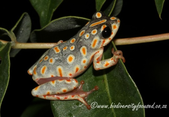 Painted Reed Frog (Hyperplius marmoratus taeniatus)