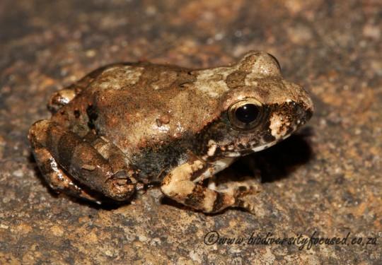 Natal Sand Frog (Tomopterna natalensis)
