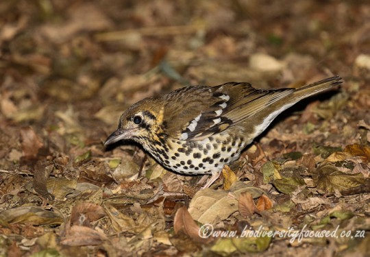 Spotted Ground-thrush (Zoothera guttata)