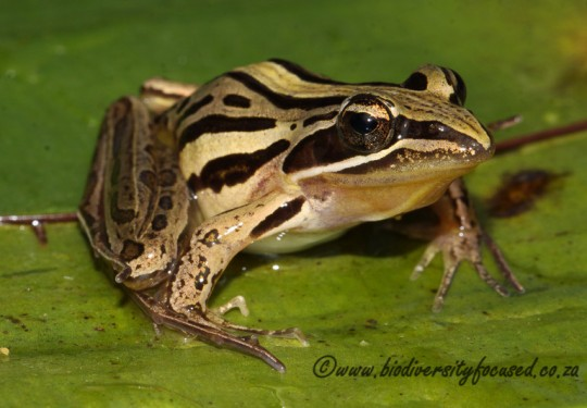 Striped Stream Frog (Strongylopus faciatus)