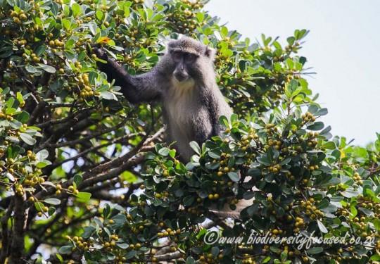 Sykes Monkey (Cercopithecus albogularis erythrarchus)