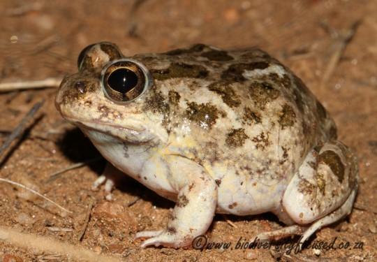 Tandys Sand Frog (Tomopterna tandyi)