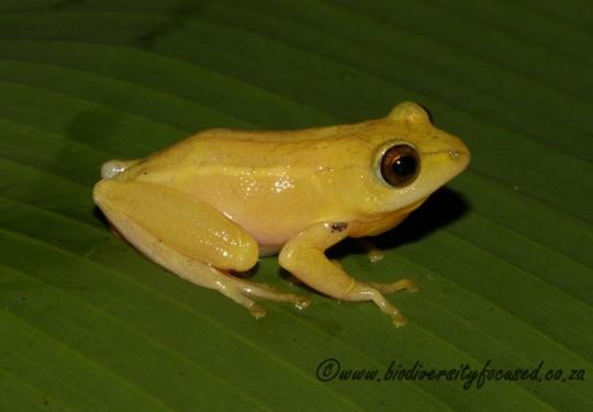 Tinker Reed Frog (Hyperolius tuberilinguis)