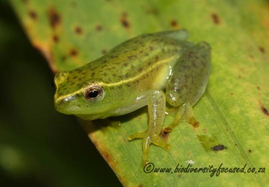Water Lily Frog (Hyperolius pusillus)