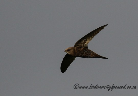 Africa Black Swift (Apus barbatus)